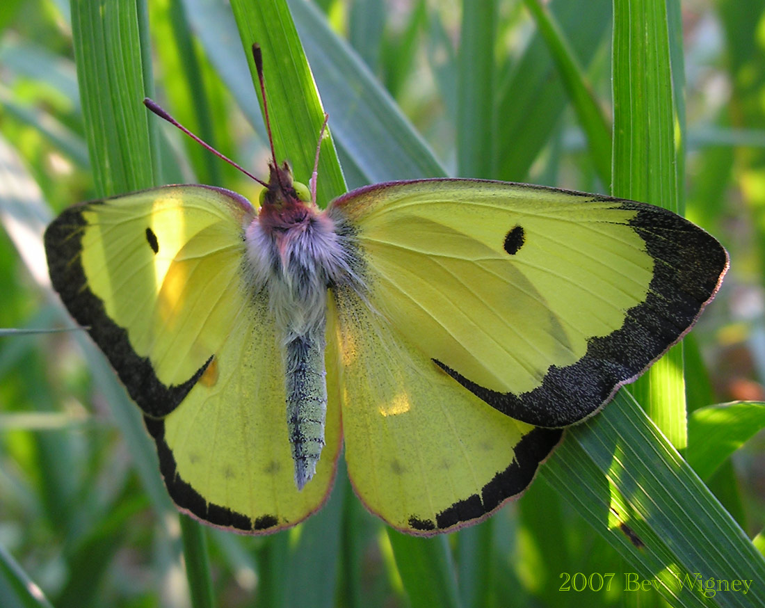 Cloudless Sulphur Butterfly Heading North - EastCoastNC.com |Clouded Sulphur Butterfly