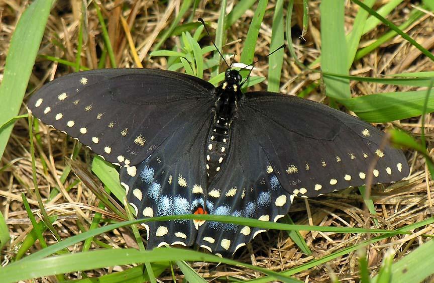 Black Swallow Butterfly 71