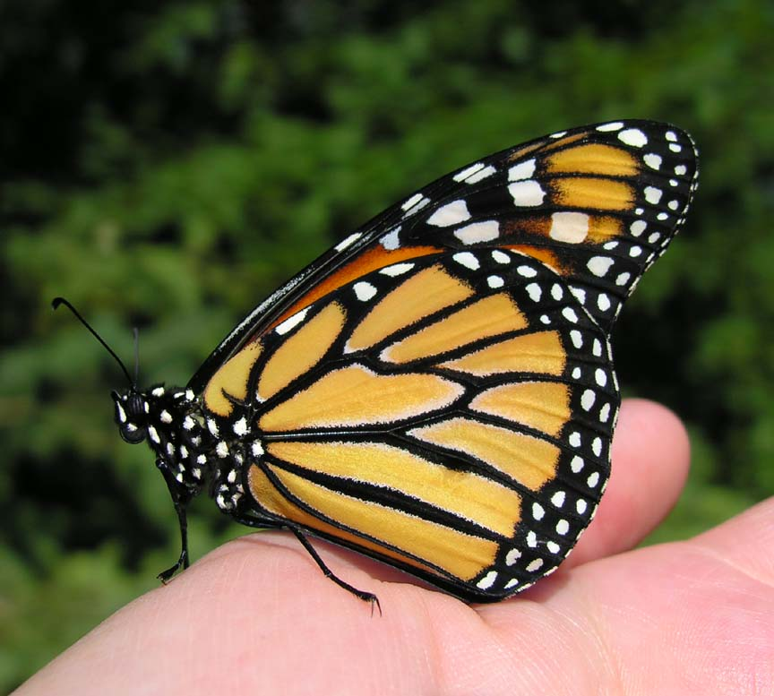 http://magickcanoe.com/butterfly/first-monarch-large.jpg