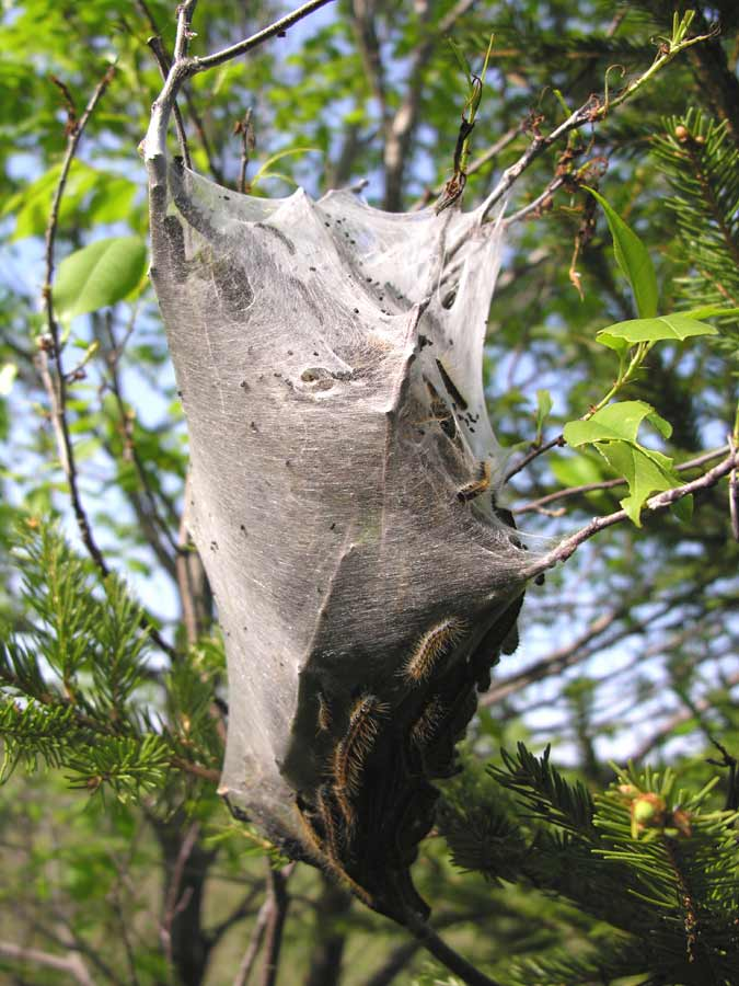 Gallery Tent Caterpillar Nest | 675 x 900 jpeg 80kB