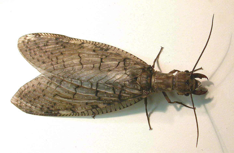 dobsonfly-female-large.jpg