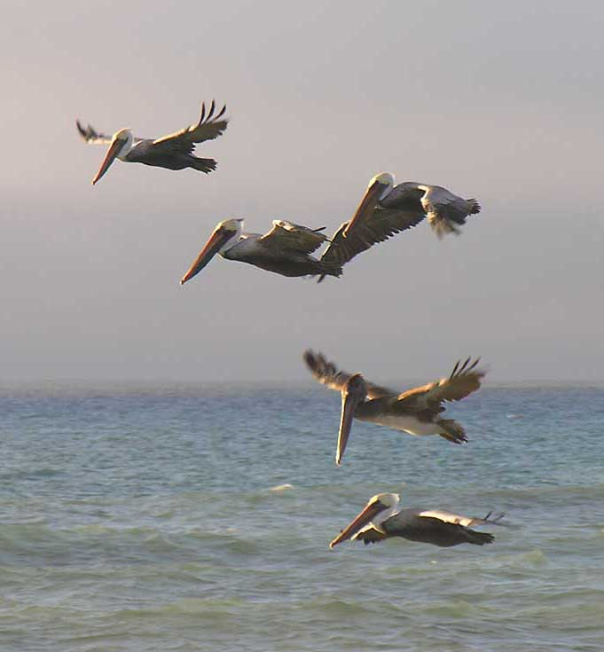 brown pelicans flying