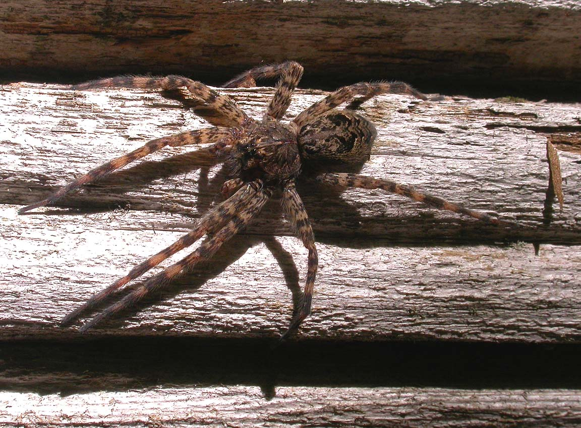 Fishing spider size - photo#27