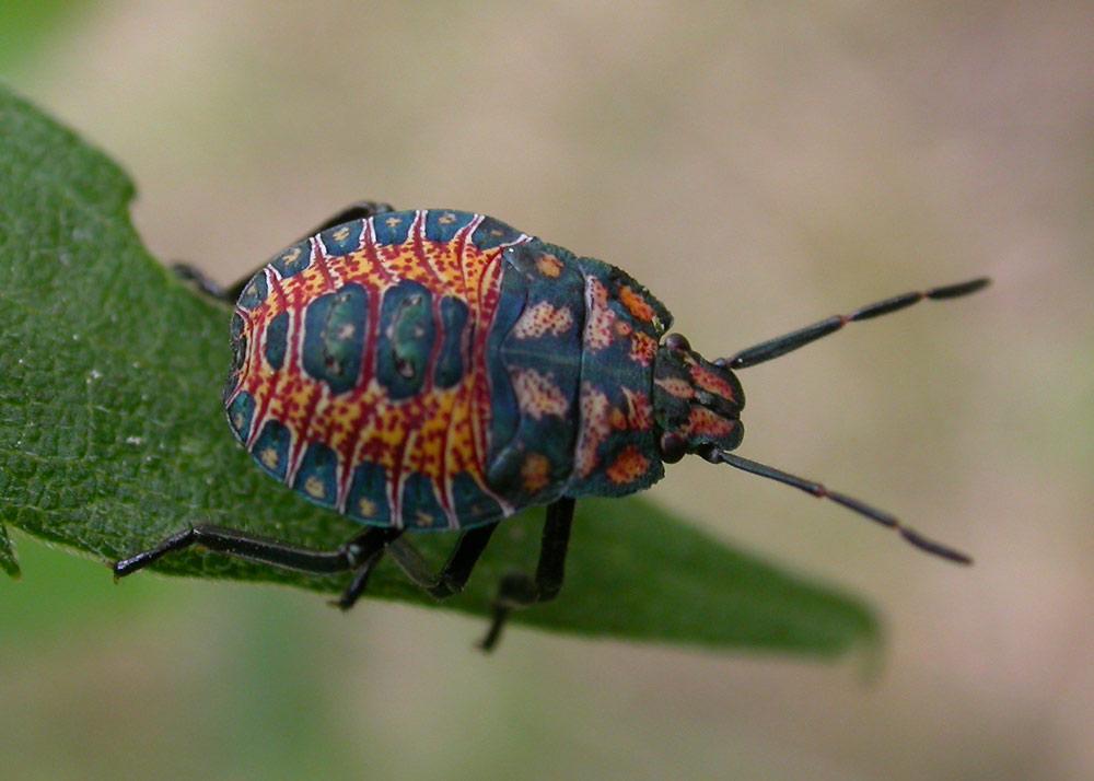 [Image: redgreen-stinkbug-large.jpg]